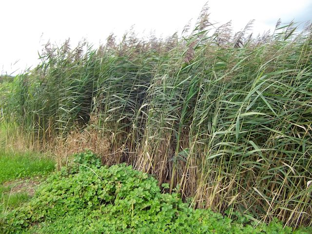 A Reedbed
